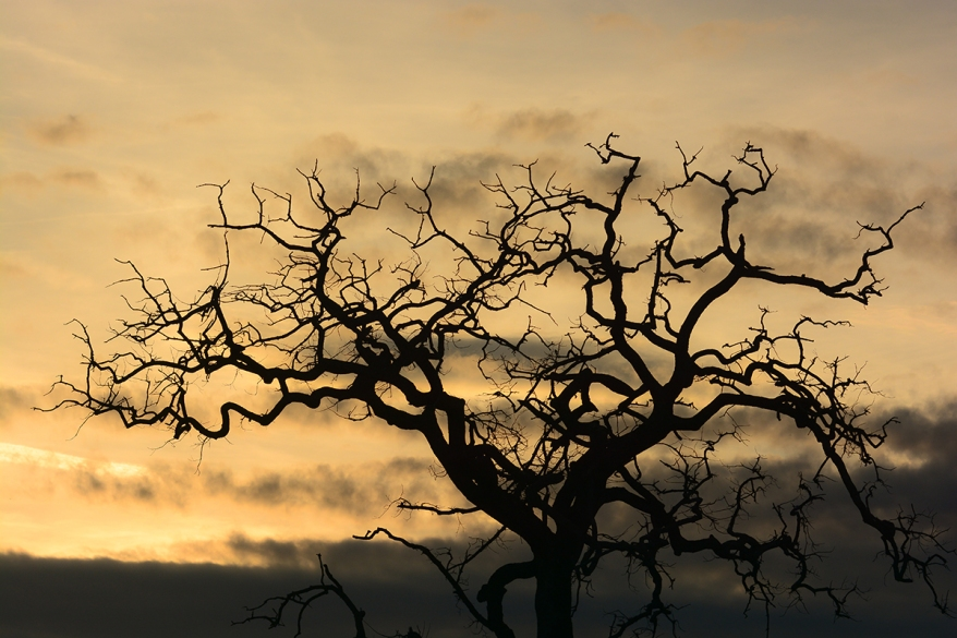 ramificazioni di quercia controluce