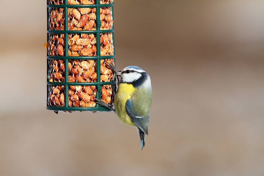 blue tit on garden bird feeder