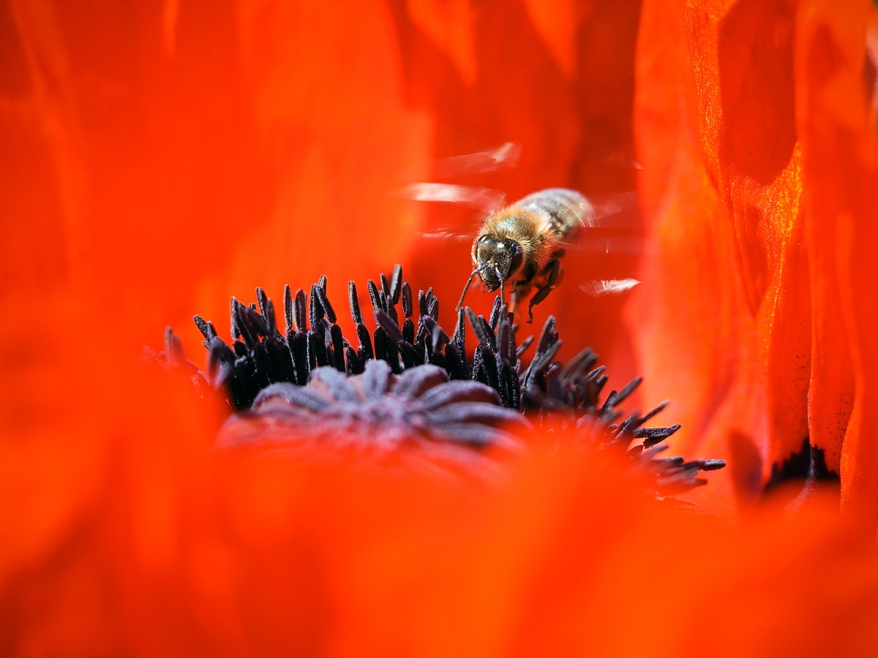A bee flies inside a red poppy flower