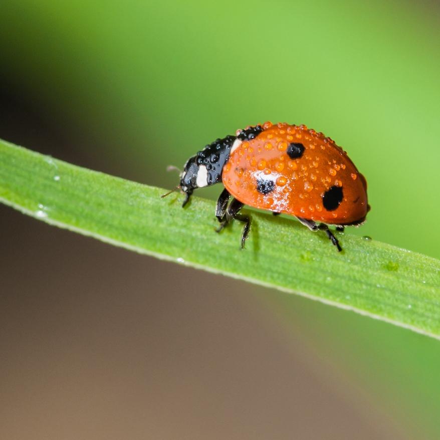 Wet Ladybird