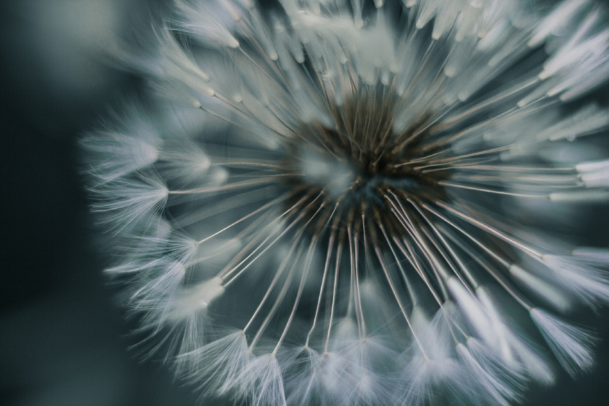 macrophoto of the dandelion seeds