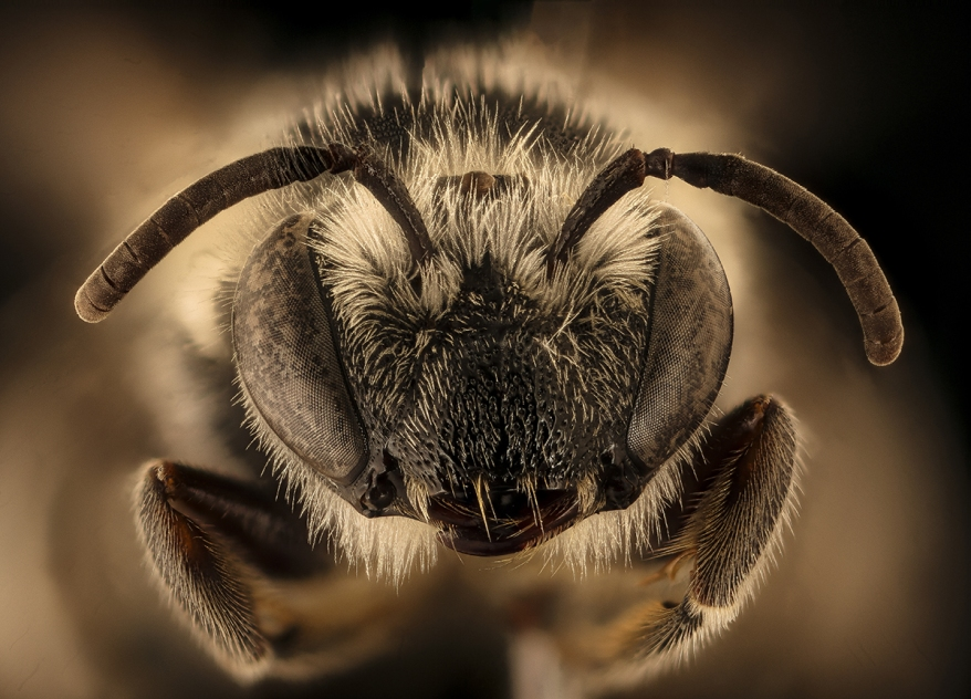 Colletes robertsonii, bee Macro , Closeup of face fluffy head of bee, Flying insect bee Macro lens, Closeup of face fluffy head of bee, Flying insect