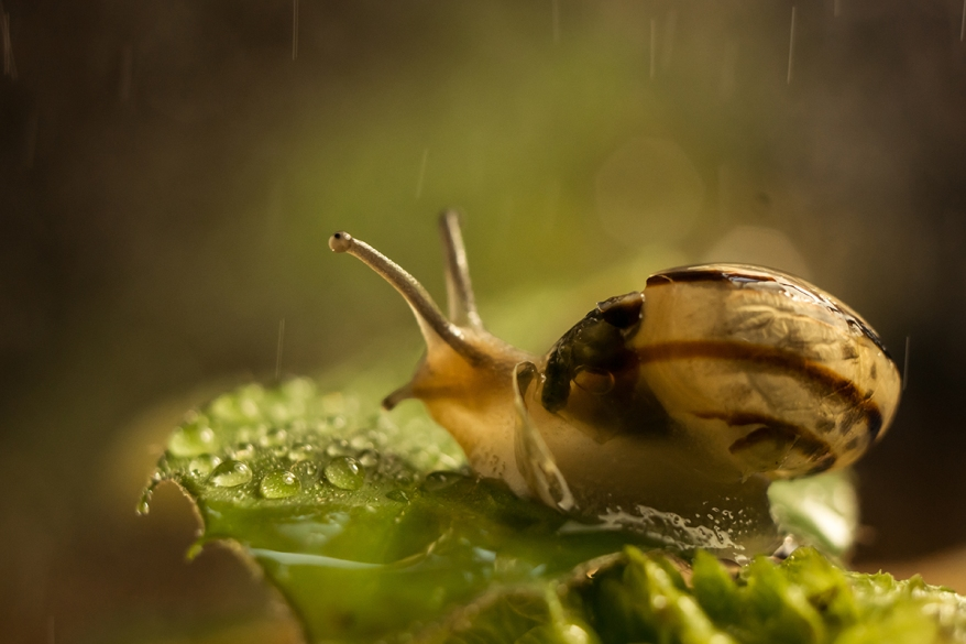 macro photo of a snail sitting on a leaf and it is raining